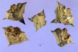 Horned Devil Seeds